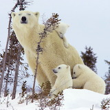 Polar Bear Mom & Cubs...
