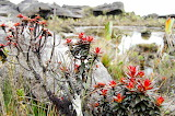 Mount Roraima flora