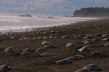 Thousands turtles nesting on the beaches of Odisha-coronavirus