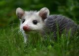 Baby O'Possum