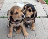 Dog Breed - Beagle Lab
