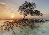 Red-mangrove