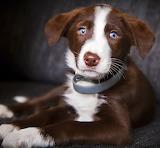 Chocolate Puppy...