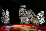 ^ Buttlerflies feeding