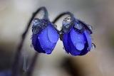 Flowers-fresh-rain-droplet-romeo-koitmae