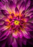 Pink Flash Flower