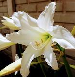 Flores89