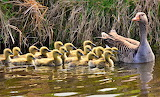 a gaggle of goslings