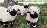 "Animals ""Valais Blacknose Sheep"""