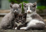 Cute fluffy kittens