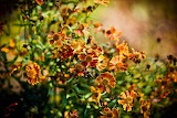 Fall-Orange-Flower