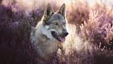 Wolfdog-02