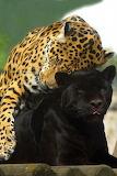 two jaguars-love