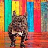 ❤️Cute French Bulldog...