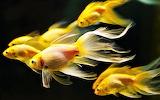#Gold Fish