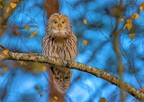 tailed owl