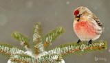 Common redpoll in Greater Sudbury. Ontario. Canada