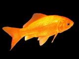 Beautiful Orange Tropical Fish