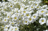 Stone-herb-white-flowers-spring-nature