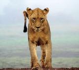 Cats - Lioness - Kenya