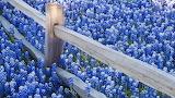 Blaues Blumenfeld