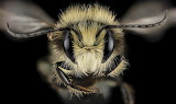 "Insects ""Our Native Bees"" ""© Paige Embry"" ""Male Osmia lignaria"""
