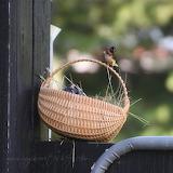 Fledgling Barn Swallows 2