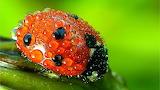 Wet Ladybug...
