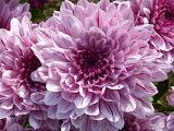 beautiful crisanthenum