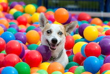 Crazy dog in ball pit