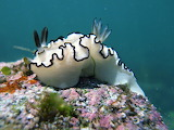 "Science tumblr anudibranchaday ""Glossodoris atromarginata"""