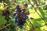 Red Grapes / Raisins rouges