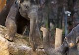 Elefant Jove - Young Elephant