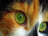Green eyed calico cat