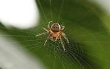 Barn spider on web