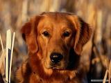 Adorable-labrador