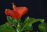 ^ Hibiscus