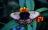 Mariposa real