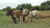 Working Farm Horses