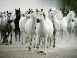 Horse-wallpapers-1024x768-20372