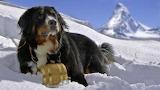 Dog Breed - Bernese Mountain Dog