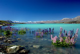 Russell Lupins in Lake Tekapo-NZ