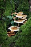 "Plants tumblr dogstardreaming ""Shaggy Pholiota Fungi"" ""Dr Keith"