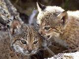 Lynx kittens