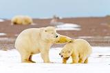 Island Polar Bears...