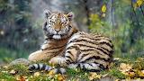 Young tiger animal-wallpaper-1366x768