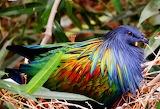 ^ Nicobar pigeon