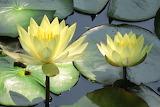 Lotus Groc