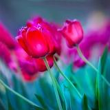 ~Beautiful Tulips~