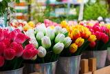Tulips in Buckets
